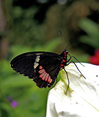 Photograph - Lysander Cattleheart Butterfly. by Chris  Kusik