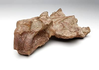 Triassic Photograph - Lystrosaurus Fossil by Ucl, Grant Museum Of Zoology