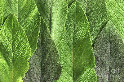 M7500790 - Sage Leaves Art Print by Spl