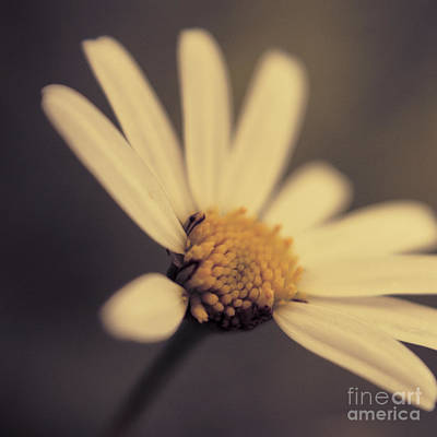Aimelle Photograph - Ma Marguerite - S05v3 by Variance Collections