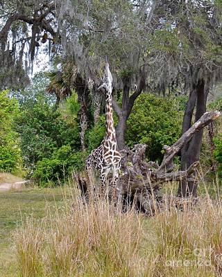 Photograph - Maasai Giraffe by Carol  Bradley