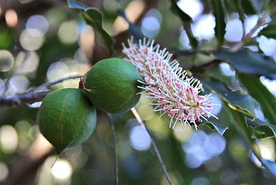 Photograph - Macadamia Nuts And Flower by Karon Melillo DeVega