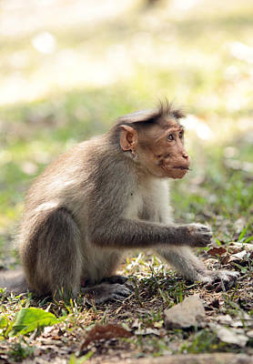 Photograph - Macaque Feeding by Paul Cowan