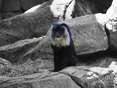 Photograph - Macaque Monkey by Jai Johnson