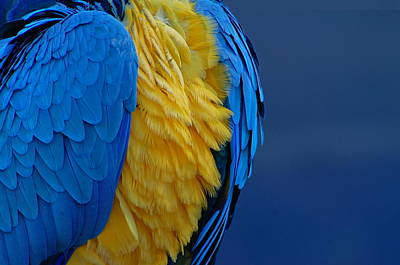 Macaw Blue Yellow Blue Art Print by Colleen Renshaw