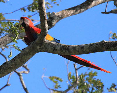Photograph - Macaw by Coby Cooper