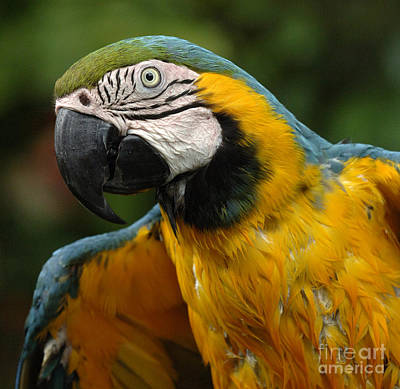 Photograph - Macaw In Yellow by Bob Christopher