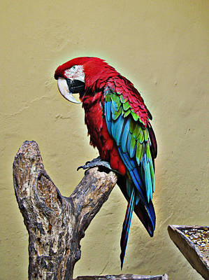 Photograph - Macaw by Tom Conway