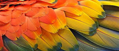 Photograph - Macaw Yellow by Colleen Renshaw