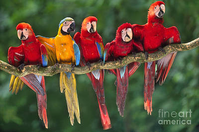 Macaws Art Print by Frans Lanting MINT Images