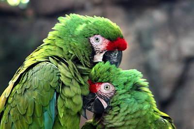 Macaws In Love Art Print by Diane Merkle