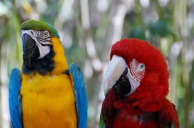 Sean Rights Managed Images - Macaws Of Color9 Royalty-Free Image by Rob Hans