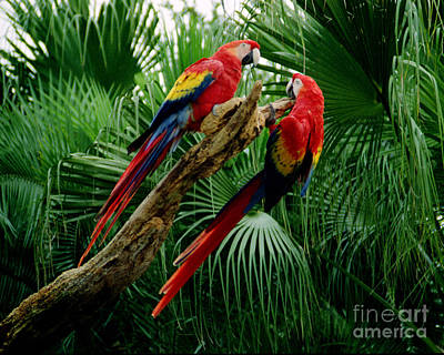 Photograph - Macaws by Tom Brickhouse