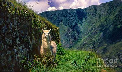 Photograph - Machu Pichu Lama by Rick Bragan