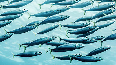 Hawaii State Fish Photograph - Mackerel Scad  Decapterus Macarellus by Thomas Kline