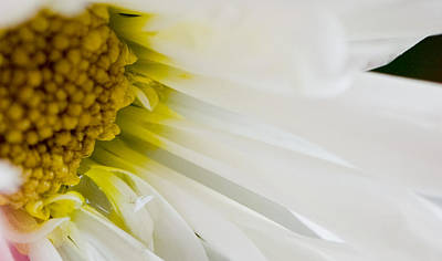 Macro Daisy Art Print by John Holloway