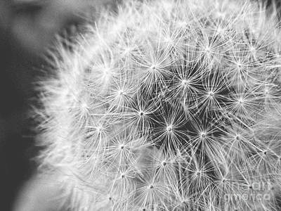 Photograph - Macro Dandelion by Emily Kelley