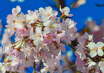 Photograph - Macro Dc Cherry Blooms by Jeff at JSJ Photography
