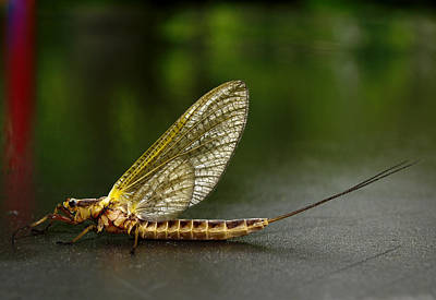 Mayfly Photograph - Macro Hex by Thomas Young