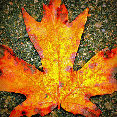 Photograph - Macro Maple Autumn by Tikvah's Hope