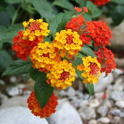 Photograph - Macro Of Shrub Verbenas Or Lantanas Lantana Camara by Tracey Harrington-Simpson