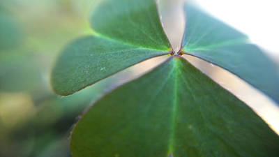 Photograph - Macro Photograph Of A Clover Leaf In Color by Kelly Hazel