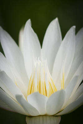 Photograph - Macro Photograph Of A White And Yellow Water Lily by Zoe Ferrie