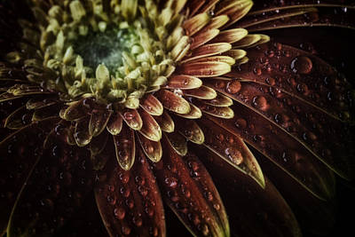Photograph - Macro Photograph Of Waterdrops On A Gerbera Daisy by Zoe Ferrie