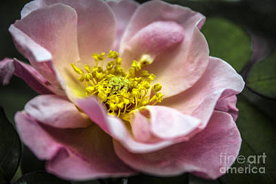 Photograph - Macro Pink Tea Roses by Ginette Callaway