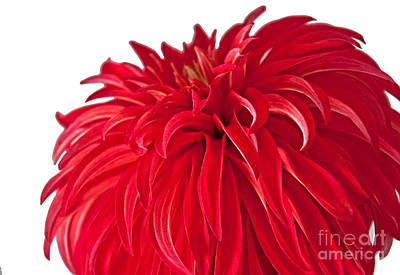Photograph - Macro Red Dahlia Flower Art Prints by Valerie Garner