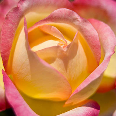 Photograph - Macro Rose by Roger Passman
