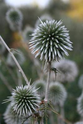 Photograph - Macro Seed Head Of Round Headed Garlic  by Tracey Harrington-Simpson