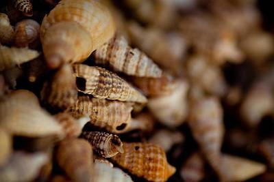 Photograph - Macro Shells by Carole Hinding