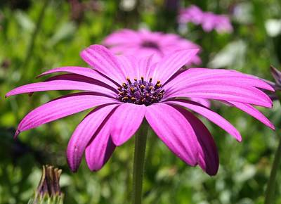 Photograph - Macro Shot Of A Purple Osteospermum by Taiche Acrylic Art