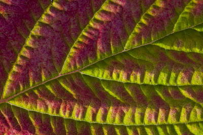 Macro View Of Salmonberry Leaf Changing Print by Marion Owen