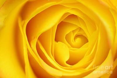 Macro Yellow Rose Art Print by Patrick Dinneen