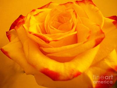 With Red Photograph - Macro Yellow Rose With Red by Marsha Heiken