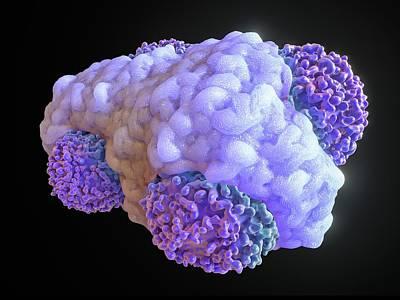 Macrophage Engulfing Cancer Cells Art Print by Maurizio De Angelis
