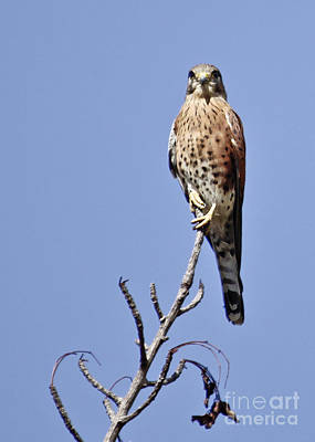 Photograph - Madagascar Kestrel by Liz Leyden