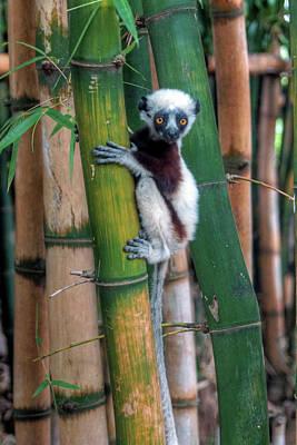 Madagascar Sifaka Baby Lemur Art Print by Mariusz Kluzniak