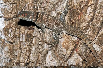 Collared Lizard Photograph - Madagascar Spiny-tailed Iguana by Science Photo Library