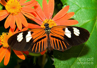 Red And Black Butterfly Photograph - Madeira Butterfly by Millard H. Sharp
