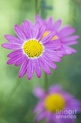 Deep Pink Photograph - Madeira Deep Pink Daisy by Tim Gainey