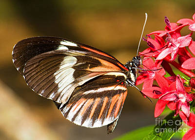 Red And Black Butterfly Photograph - Maderia Butterfly by Millard H. Sharp