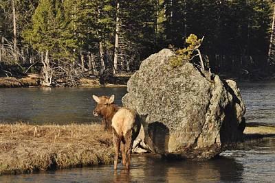 Elk Hide Photograph - Madison Elk by Brent Easley