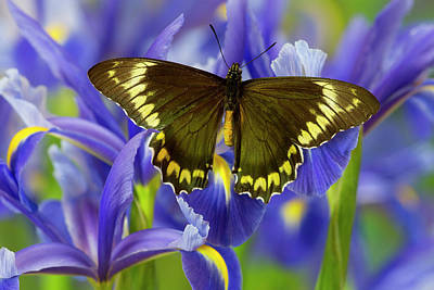 Blue Swallowtail Photograph - Madyes Swallowtail Butterfly, Battus by Darrell Gulin