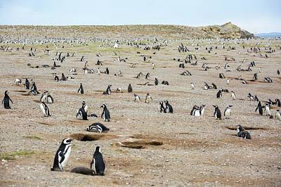 Magdalena Photograph - Magellanic Penguin Colony by Peter J. Raymond
