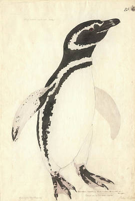 Magellanic Penguin Art Print