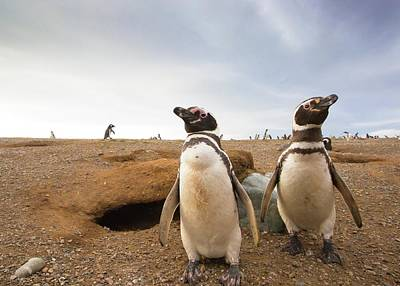 Magdalena Photograph - Magellanic Penguins Around Their Burrow by Peter J. Raymond
