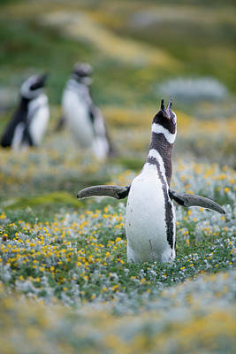 Photograph - Magellanic Penguins In Patagonia, Chile by Edwin Remsberg